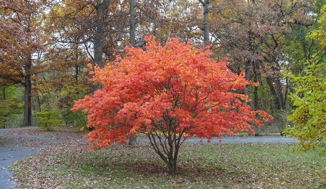 orange tree 72